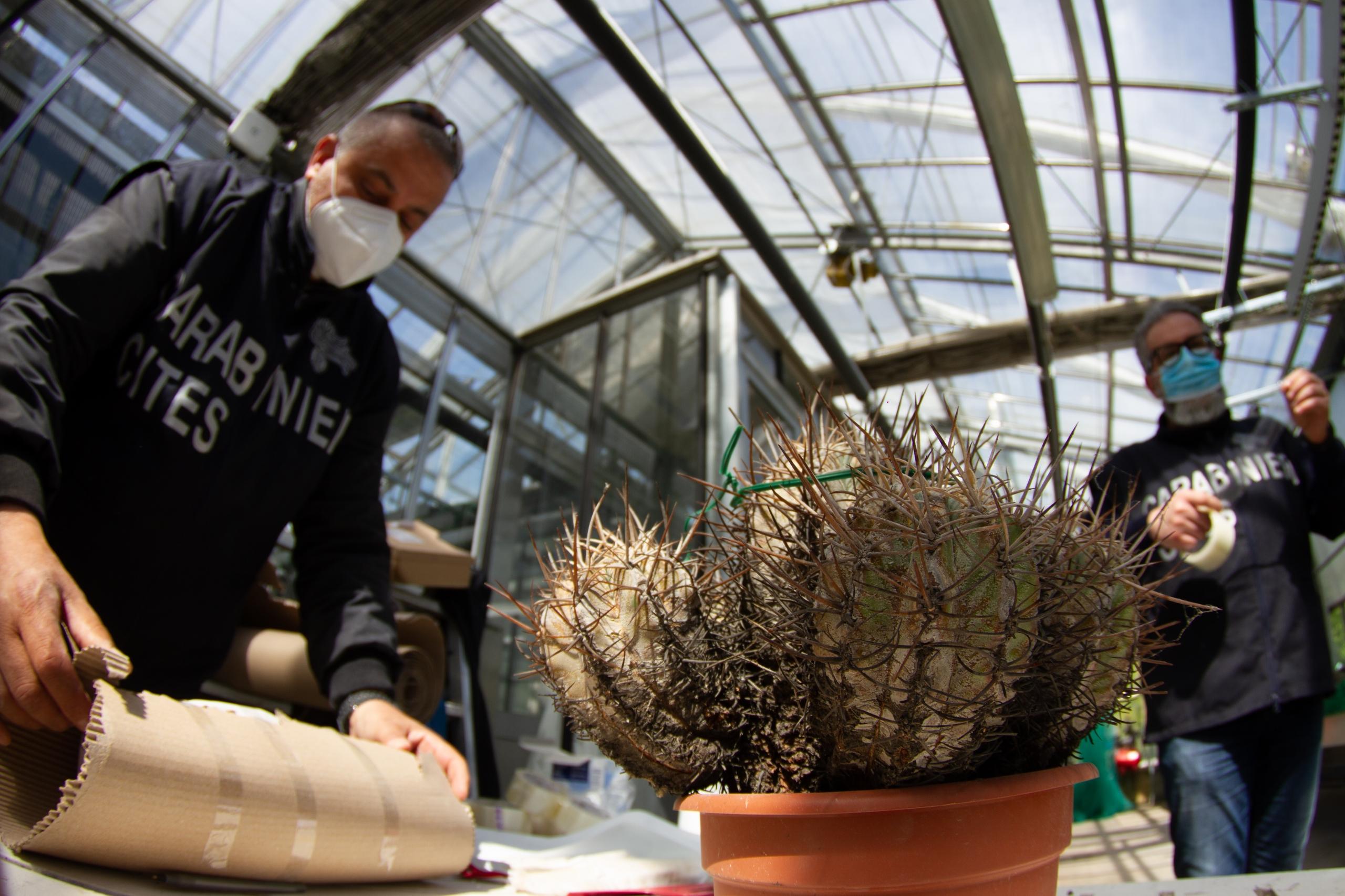 Agenti dei Carabinieri forestali che impacchettano cactus